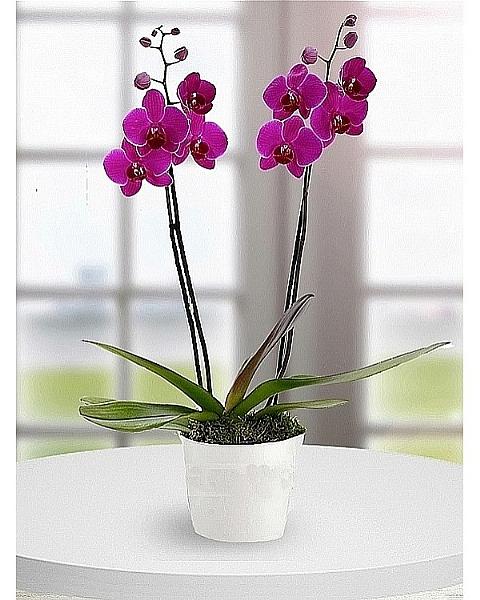 Mor Orkide (Çift Dal)