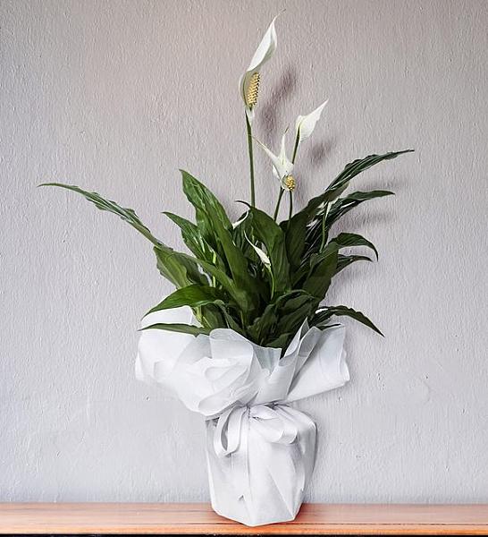 Barış Çiçeği Annelerimizin Gözde Çiçeği