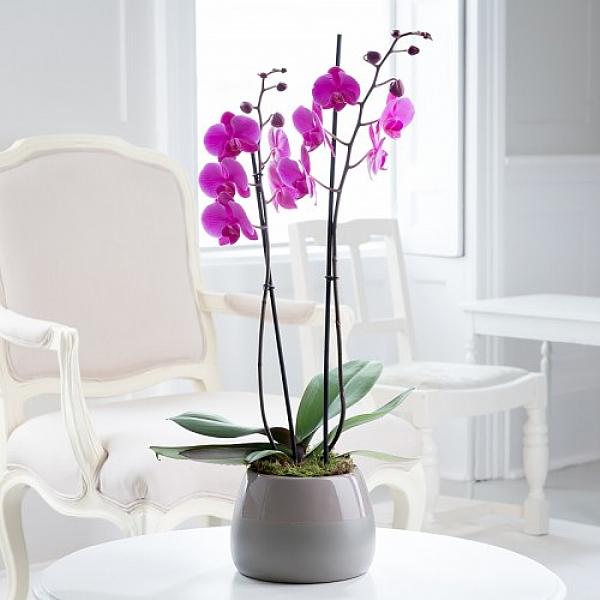 Aşk Kelebegi Orkidesi